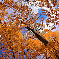"""""""Royal Gold and Blue""""<br /> <br /> Striking golden Maple leaves against the beauty of a wonderful blue sky in autumn!!<br /> <br /> Fall Foliage by Rachel Cohen"""