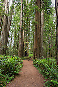 The Redwoods here are so tall....it is hard to comprehend.