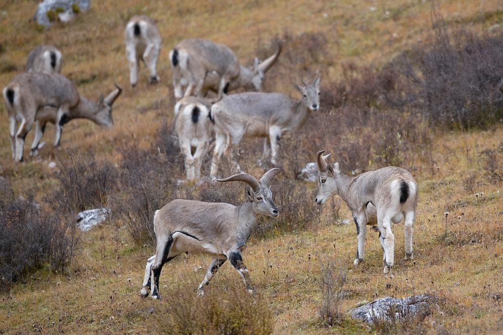"Blue sheep, wildlife; sheep; wild; Ovis nahoor, Angsai nature reserve, ""Valley of the Cats"", Sanjiangyuan National Nature Reserve, Tibetan Plateau, Qinghai, China"