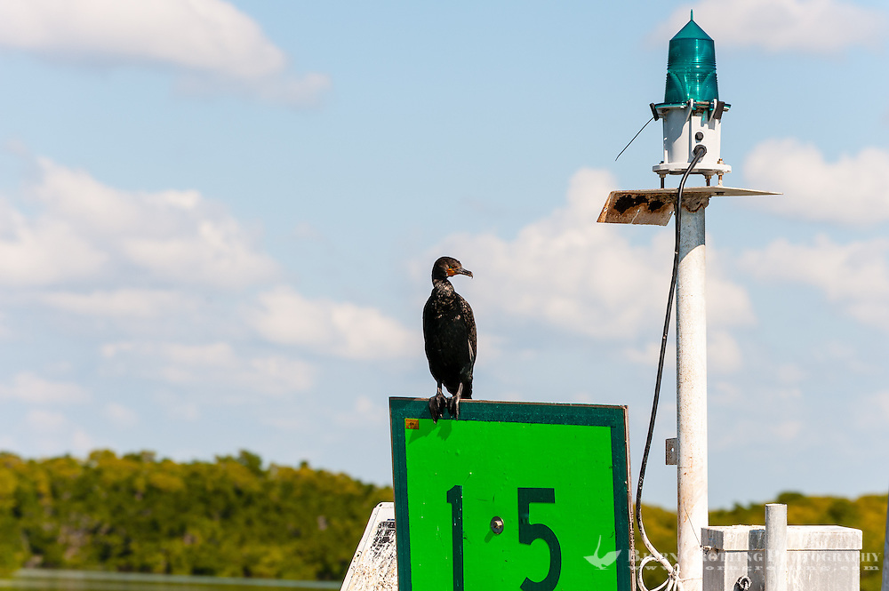 US, Florida. Ten Thousand Islands, Everglades. Double-crested Cormorant.