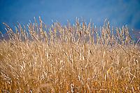 yellow grasses against blue background at Conboy Lake National Wildlife Refuse, Klickitat County, WA USA