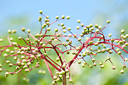 Seedhead of flowering plant, against blue sky, Romania