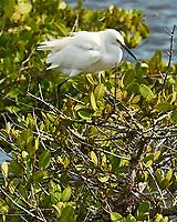 Snowy Egret (Egretta thula). Black Point Wildlife Drive. Merritt Island National Wildlife Refuge. Image taken with a Nikon D3 camera and 70-200 mm f/2.8 VR lens.
