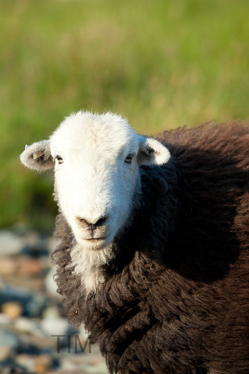 Traditional Herdwick sheep in the Lake District National Park, Cumbria, UK