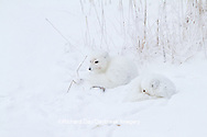 01863-01419 Arctic Foxes (Alopex lagopus) curled up along bank in snow Churchill Wildlife Management Area, Churchill, MB