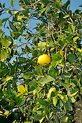 Israel, Sharon district, Citrus Grove Grapefruit trees