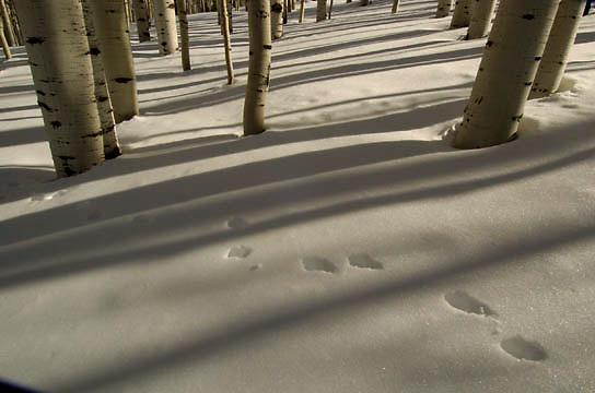 Aspen forest in winter, Unita National Forest. Utah.