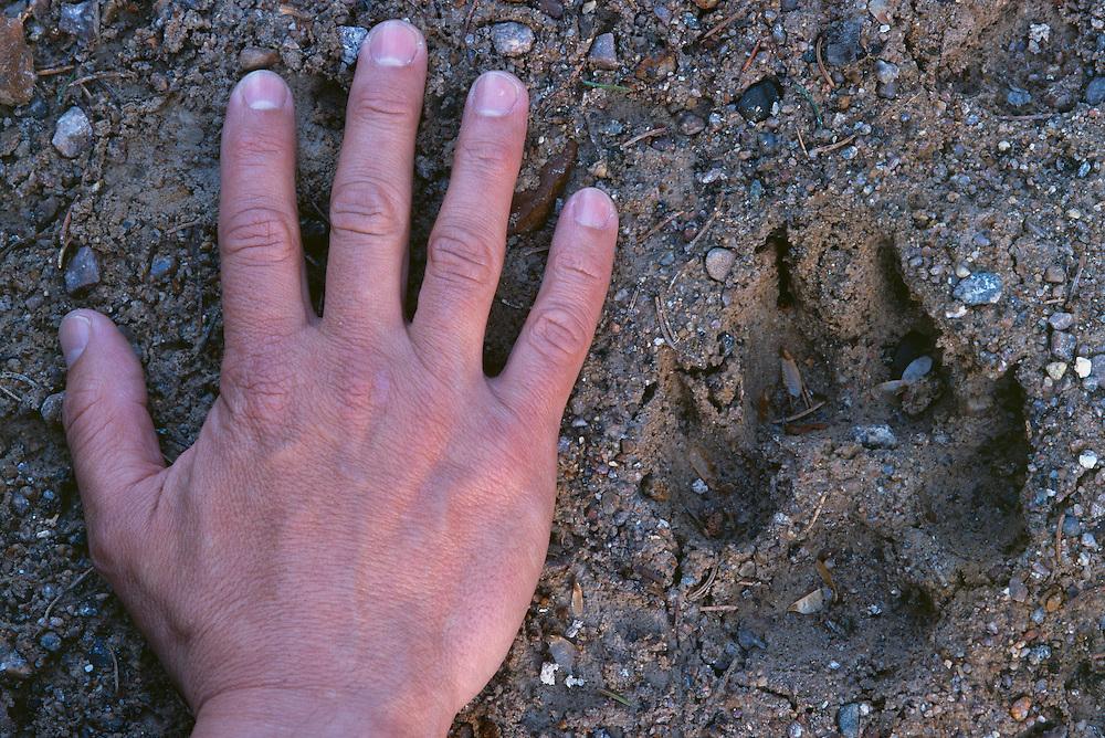 Wolf track and hand, Varmland, Sweden.
