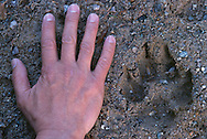 Wolf track and hand, Varmland, Sweden.