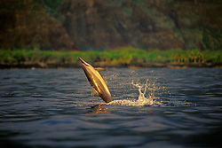 Long-snouted Spinner Dolphin, leaping at sunset, Stenella longirostris, Kealakekua Bay, Big Island, Hawaii, Pacific Ocean