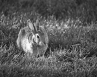 Rabbit at the Boulder Marriott Residence Inn. Late spring nature in Colorado. Image taken with a Nikon D2xs camera and 200 mm f/4 macro lens (ISO 400, 200 mm, f/4, 1/160 sec).