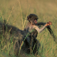 South Africa, Cape of Good Hope, Baby Chacma Baboon (Papio ursinus)