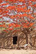 A hut sits under a blossoming tree in the village of Rhumsiki, Cameroon