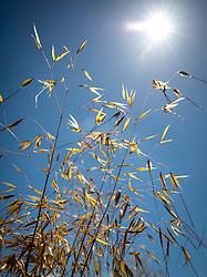 Stipa gigantea against a blue sky. Giant feather grass, Golden oats