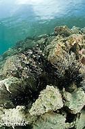 Banc de Poissons cardinaux des iles Banggais devant des oursins diadèmes<br /> <br /> Poisson cardinal des iles Banggais, Pterapogon kauderni. Endémique des Îles Banggais, ce poisson possède une aire de répartition très limitée pour un poisson marin. Depuis quelques années, il subit une forte pression de la pêche pour le commerce de l'aquariophilie (plusieurs milliers de poissons sont capturés chaque mois) ce qui a conduit cette espèce en 2007 a être classée dans la catégorie Endangered sur la liste rouge de l'UICN. village de Bonebaru sur l'ile Banggai dans les Sulawesis en Indonésie - Mission Banggai Cardinal Fish, Mai 2008, Act for Nature - Musee oceanographique de Monaco