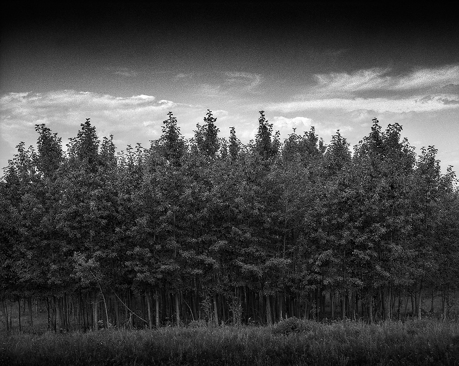 A group of young trees