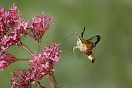 Broad-bordered Bee Hawkmoth - Hemaris fuciformis