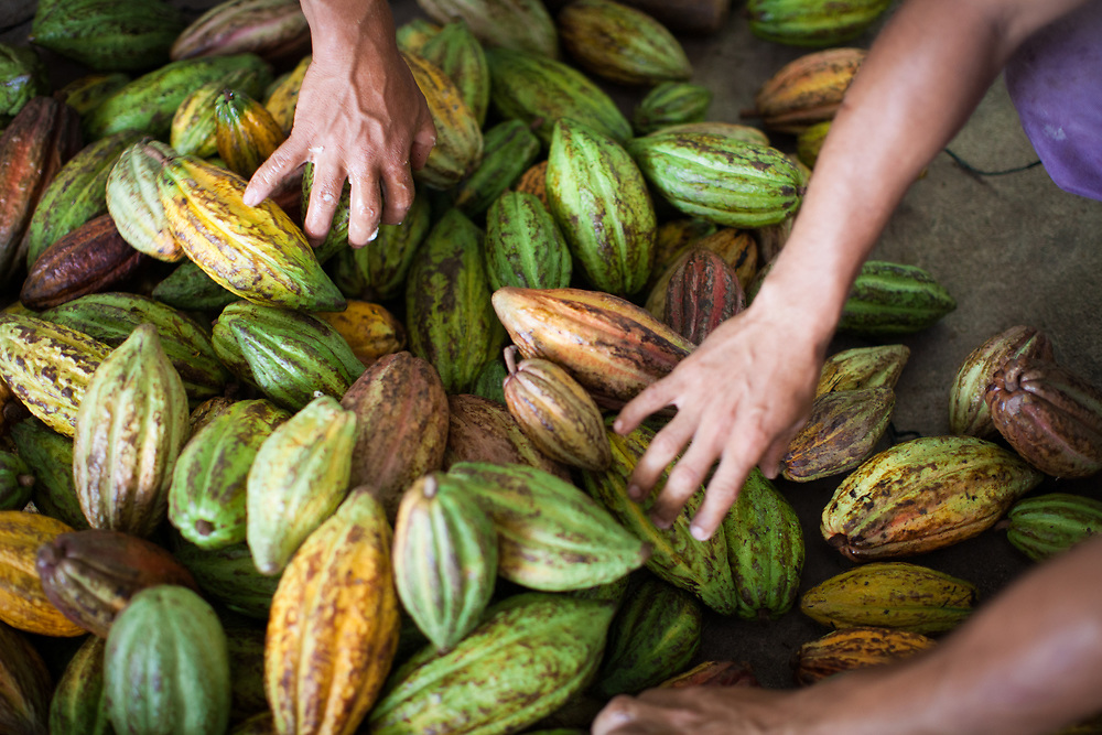 Ripe cocoa pods are chosen and split to remove the pulp and cocoa beans for fermentation.