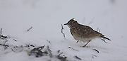 Crested Lark (Galerida cristata) in the snow Photographed in Israel January winter