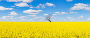 Tree without leaves in middle of a field of canola against blue sky near Boree Creek, New South Wales, Australia <br />