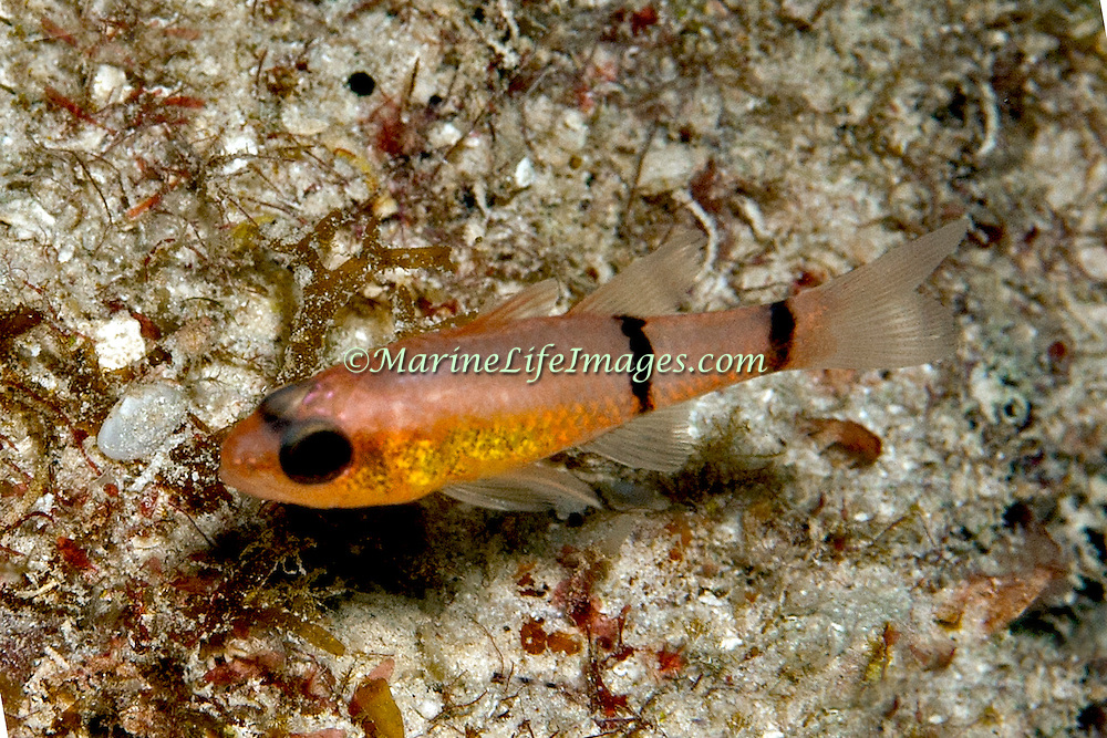 Barred Cardinalfish hide during day in dark recesses in reefs in Tropical West Atlantic; picture taken Grand Turk.