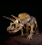"""Triceratops, which means """"three-horned face"""" was common in the latest part of the Cretaceous in western North America.  It was a plant eater and grew to 30 ft (9 m) and weighed up to 6 US tons (5.4 metric tons)."""