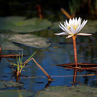 Africa, Botswana, Okavango Delta. Water Lily of the Okavango.