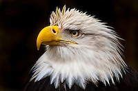Bald eagle (Haliaeetus leucocephalus), Deer Mountain Tribal Hatchery and Eagle Center, Ketchikan, Alaska USA