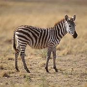 Burchell's Zebra, (Equus burchelli) Adult on Serengeti Plains. Masai Mara Game Reserve. Kenya. Africa.