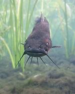 Brown Bullhead<br /> <br /> Isaac Szabo/Engbretson Underwater Photography