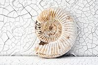 Still Life Photography. White Fossil Nautilus Ammonite on cracked surface background.