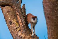 Patas monkey, Murchison Falls National Park, Uganda.