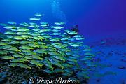 videographer and school of bluestripe snapper or ta'ape, <br /> Lutjanus kasmira, on patch reef<br /> Kona, Hawaii ( Pacific ) MR 297