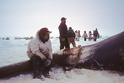 Resting Between Pulling Whale