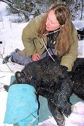Kris Timmerman Taking Heart Rate Of Black Bear #23