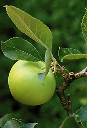 Developing apple sequence. Fully grown apple