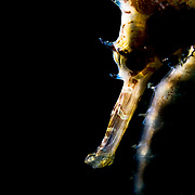 An endangered seahorse, photographed in The Philippines.