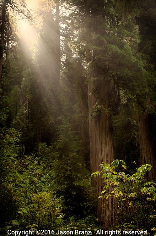 Sun rays shining through fog into a redwood grove, Jedediah Smith State Park, Del Norte County, California.