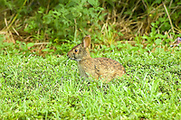 Marsh rabbit warily munching on new green grass in Moore Haven, Florida near the shore of Lake Okeechobee.