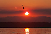 Smoke from a forest fire results in a hazy sunset over the Olympic Mountains in Washington state as several gulls fly over Puget Sound.