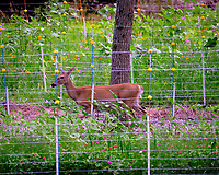 Doe outside of Electric Fence. Image taken with a Fuji X-T3 camera and 200 mm f/2 OIS lens with 1.4x teleconverter