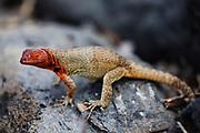 Lava lizard (Microlophus albemarlensis) sitting on a rock, Galapagos Islands, Ecuador