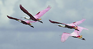 KEVIN BARTRAM/The Daily News.Four Roseate Spoonbille take to the air near R.A. Apffel park on the east end of Galveston.