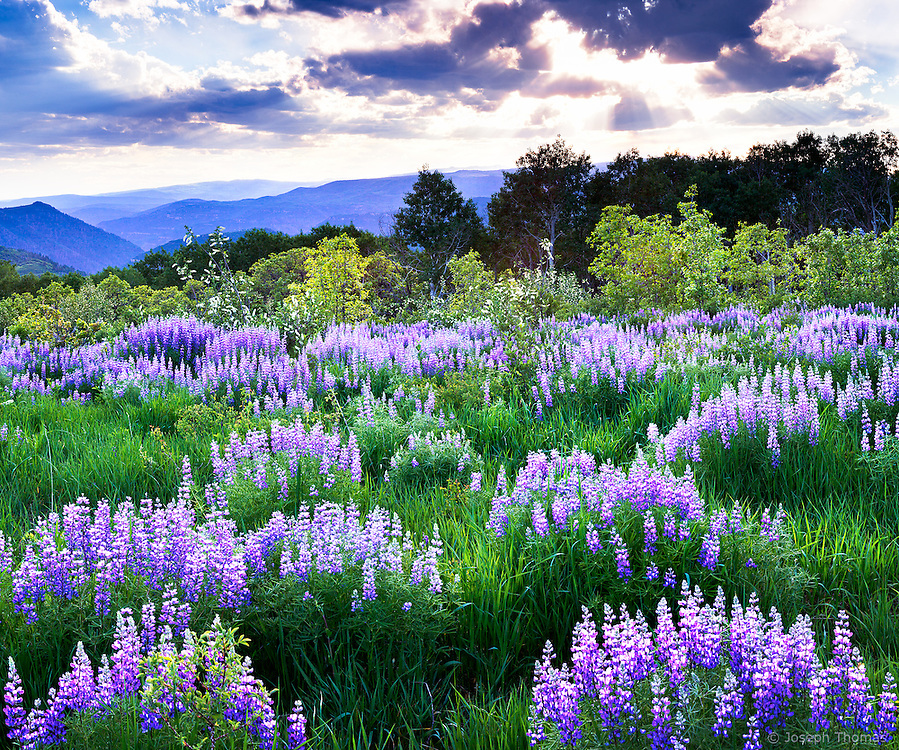 A Lupine Meadow in full summer glory is backlit by a dramatic Colorado sunset.