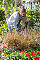 Combing dead foliage out of Anemanthele lessoniana syn. Stipa arundinacea - Pheasant's tail grass