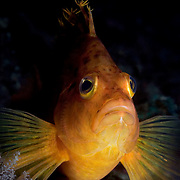 Yellow or Golden Hawkfish (Cirrhitichthys aureus). Photographed at the Izu Peninsula in Japan.