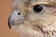 Saker falcon face, captive, Dubai Desert Conservation Reserve, Dubai