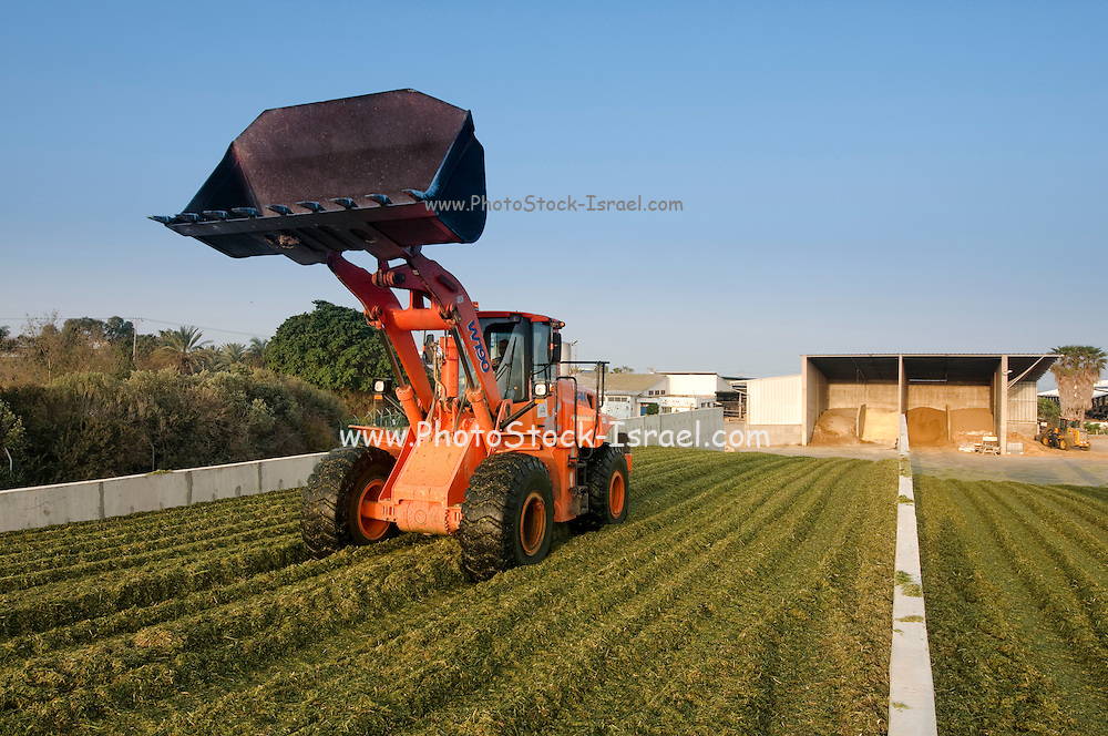Wheat harvested for silage Spreading the harvest in the fermentation silo where it will remain for 3 weeks photographed in Israel, at Kibbutz Maagan Michael