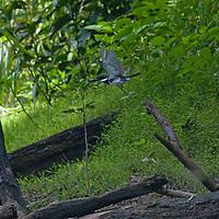 An Amazon Kingfisher (Chloroceryle amazona) flies beside the Yanayacu River in Peru's Amazon Jungle.