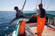 longline fishermen pull a porbeagle shark, Lamna nasus, into the boat, in a legal and managed fishery, Nova Scotia, Canada ( North Atlantic Ocean )
